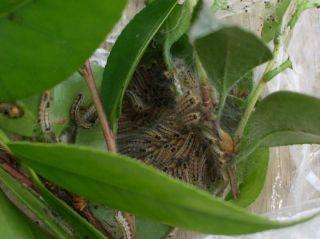 蝶の幼虫が毛虫類です。一年に2回発生するものが一般的です。 5月上中旬頃と8月中下旬くらいに、スミチオン剤(1000倍)、  ディプテレックス乳剤(1000